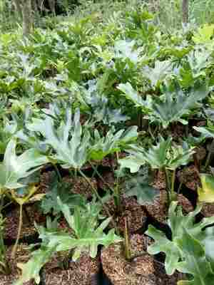 jual Jual pohon philodendron 082312784749