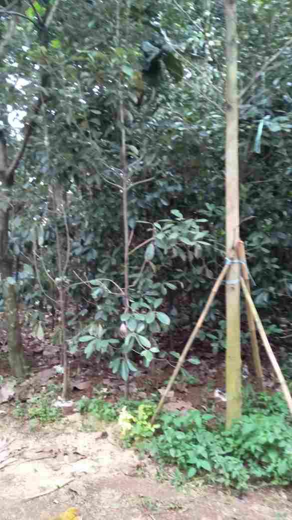 jual Jual pohon liang liu.082312784749