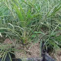 jual Jual pohon palem phoenix.palem pinis 082312784749.087777643603