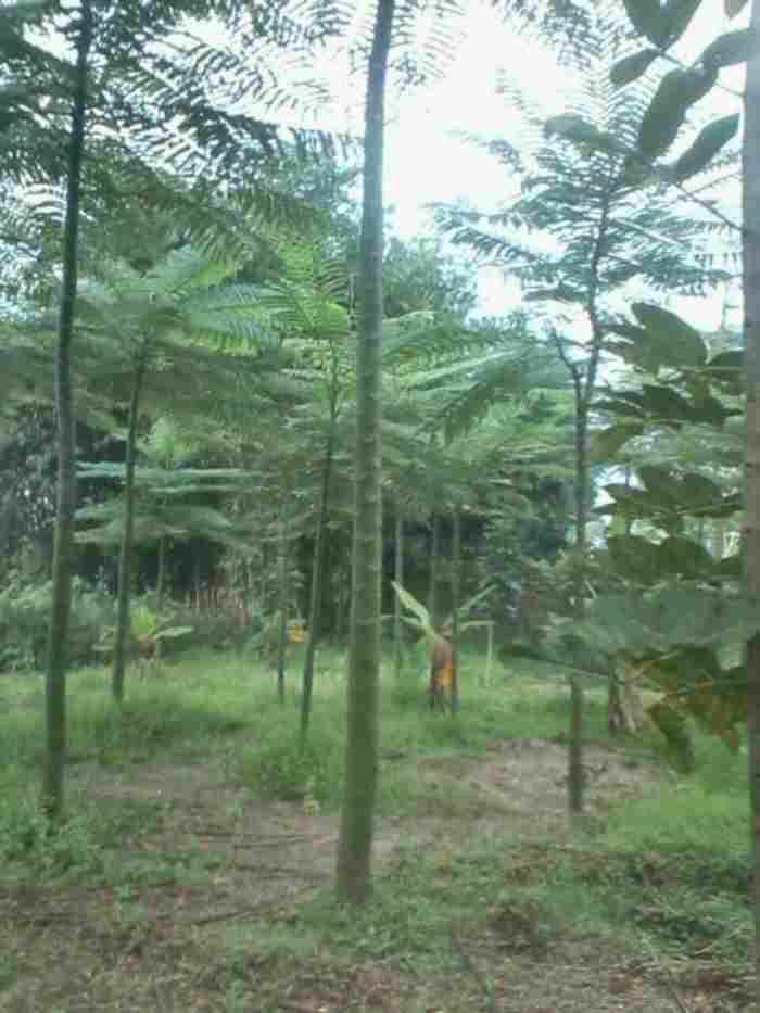 jual Jual pohon pakis brazil.082312784749