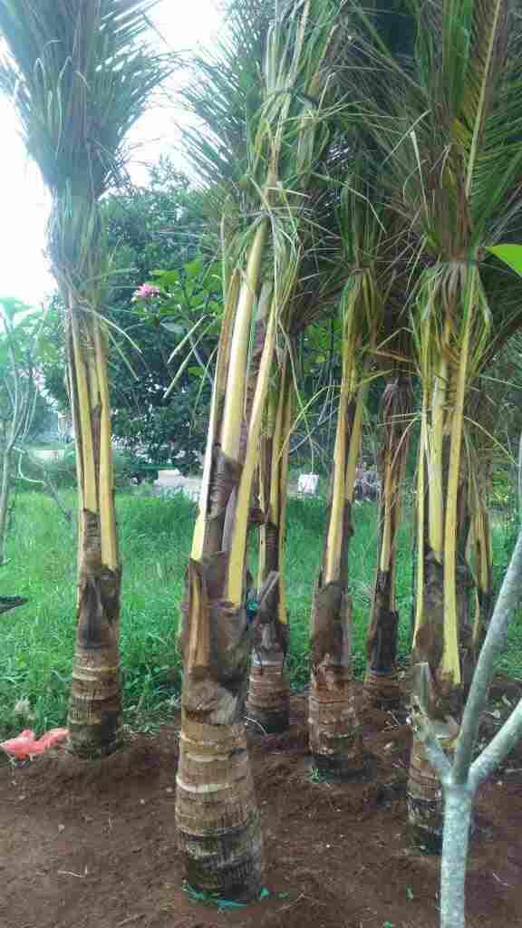 jual Jual pohon kelapa kuning 082312784749.087777643603