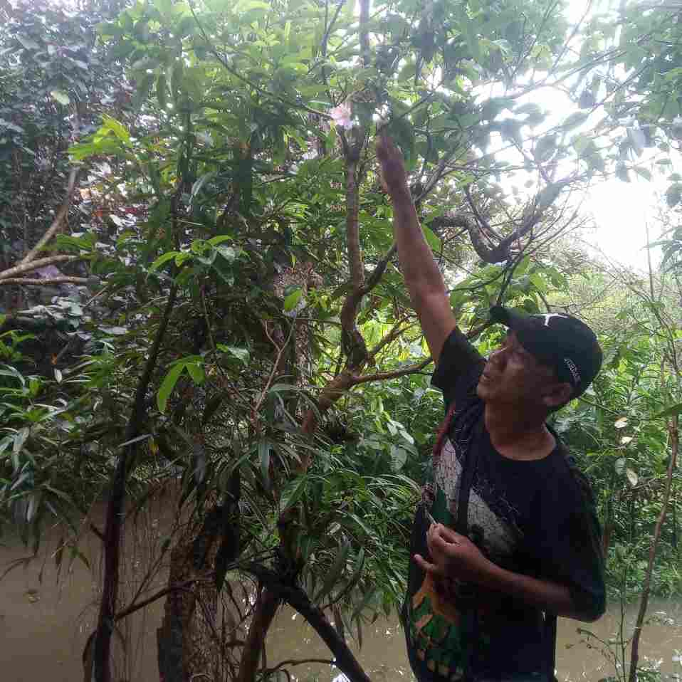 jual Jual pohon dadap merah 082312784749