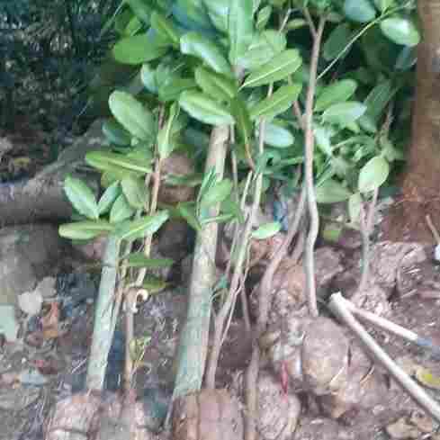 jual Jual pohon nyamplung 082312784749