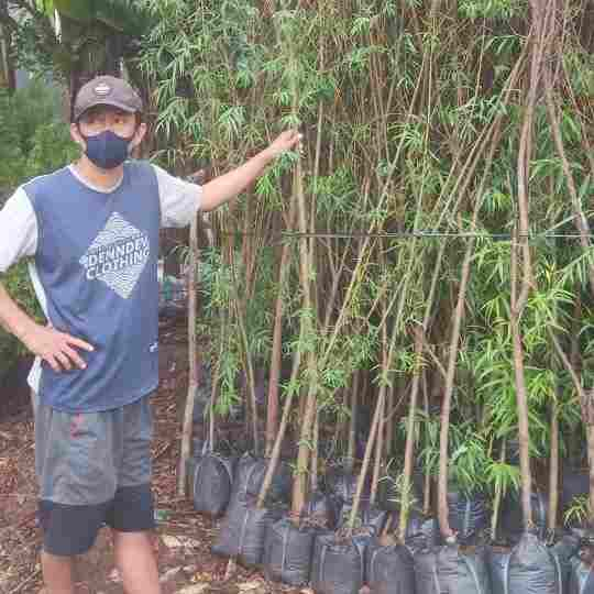 jual pohon liang liu janda merana 082312784749
