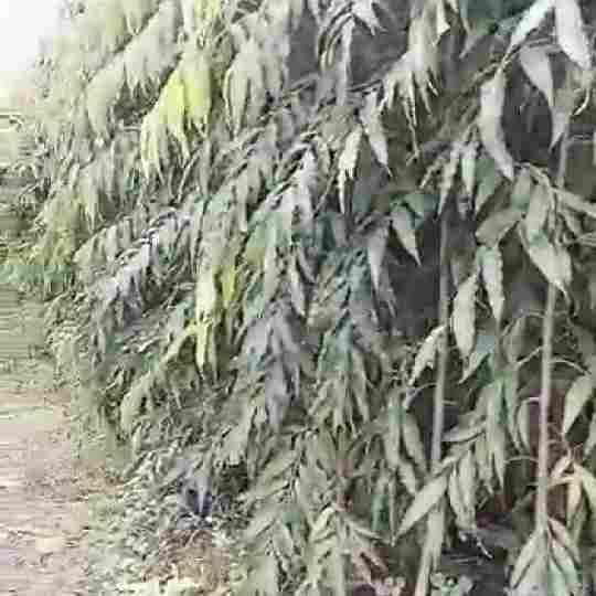 jual Jual pohon glodokan tiang 082312784749