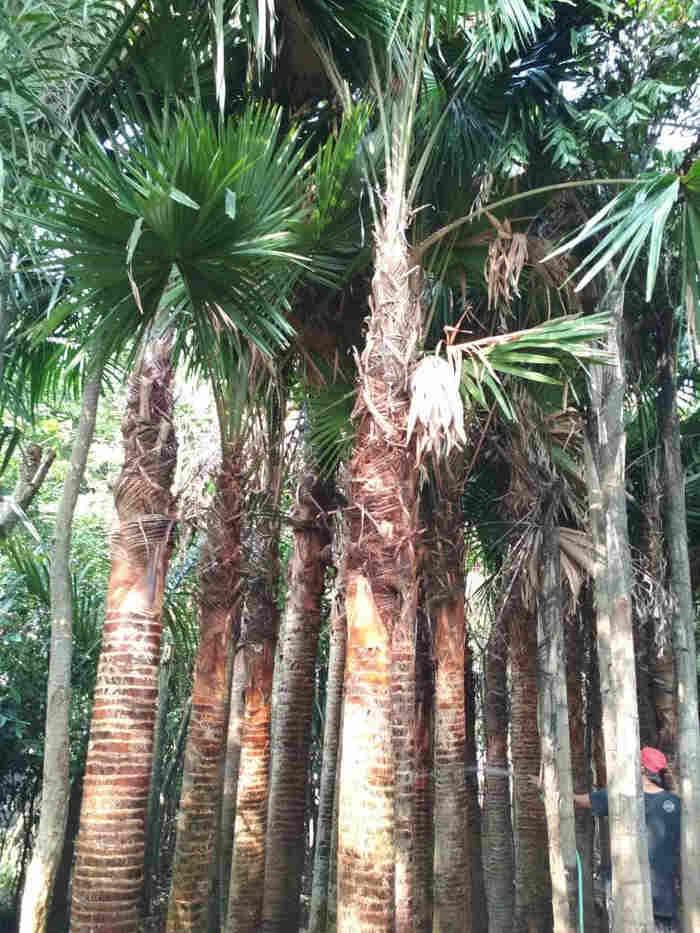 jual Jual pohon palem sadeng 082312784749.087777643603