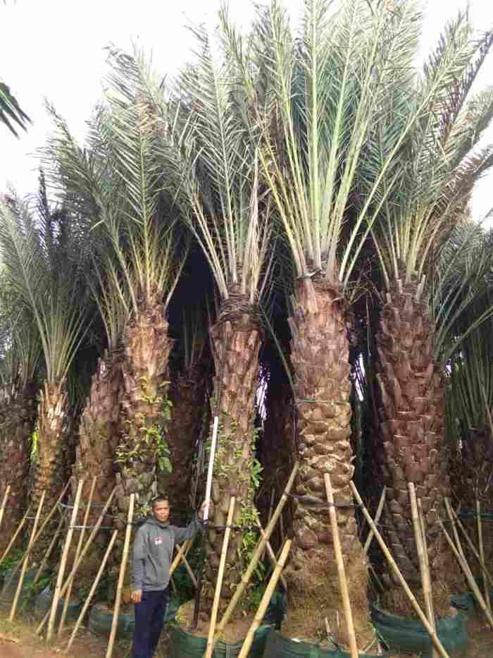 jual Jual pohon  kelapa kuning 081292127731