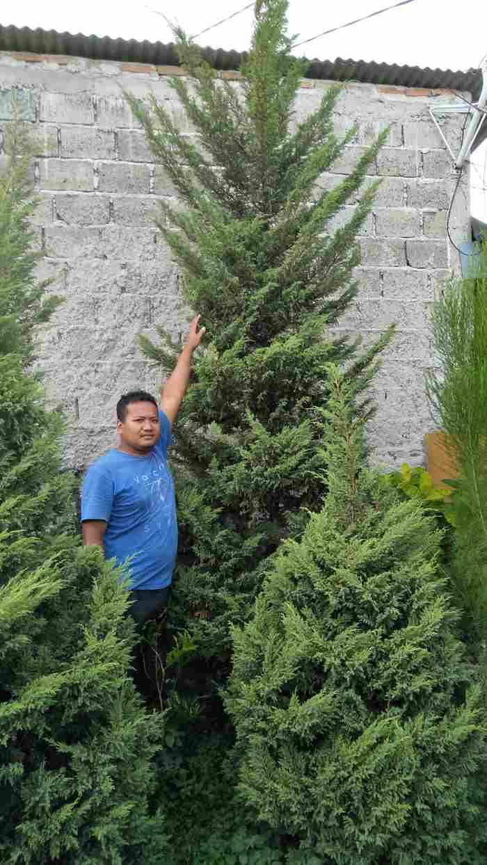 jual Jual pohon cemara pua pua 082312784749