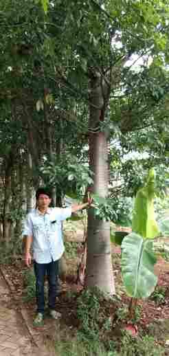 jual Jual pohon baobab 082312784749