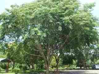 jual Jual pohon angsana 082312784749