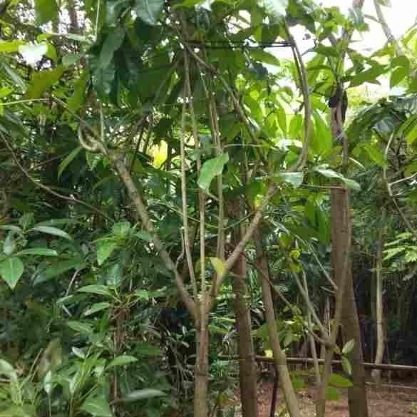 jual Jual pohon eucalytus 082312784749