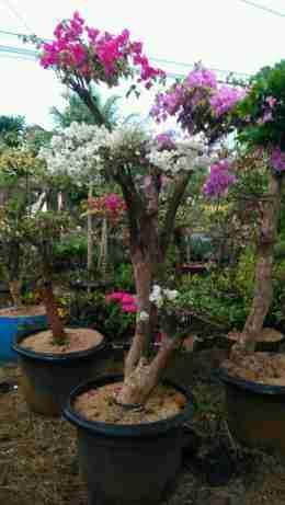Jual pohon