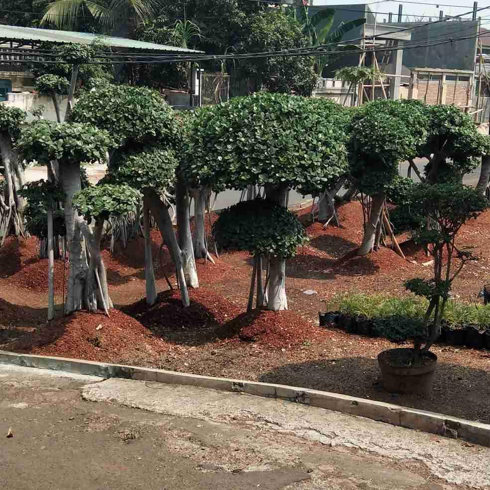 Jual pohon beringin putih 082312784749