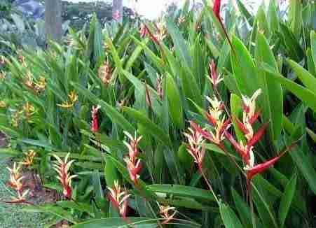 Jual pohon pisang lady 082312784749.087777643603