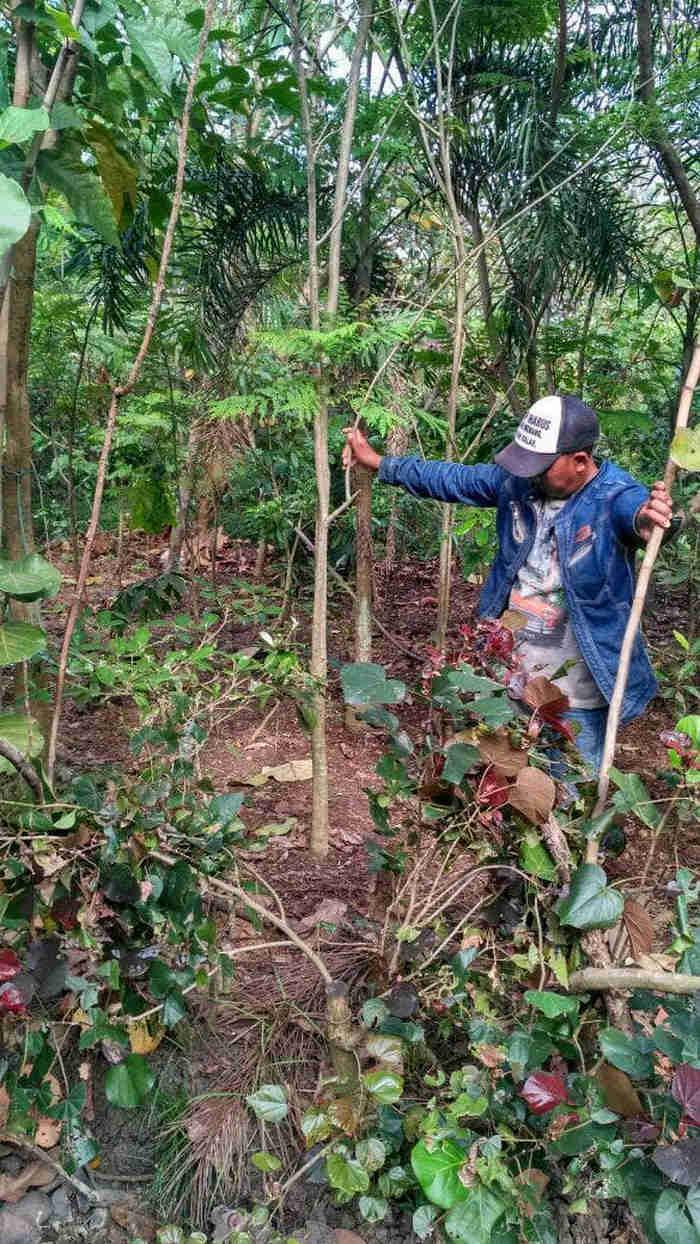 Jual pohon jacaranda.082312784749