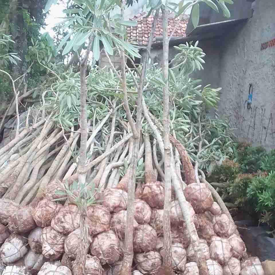 Jual pohon tabebuya kuning 082312784749