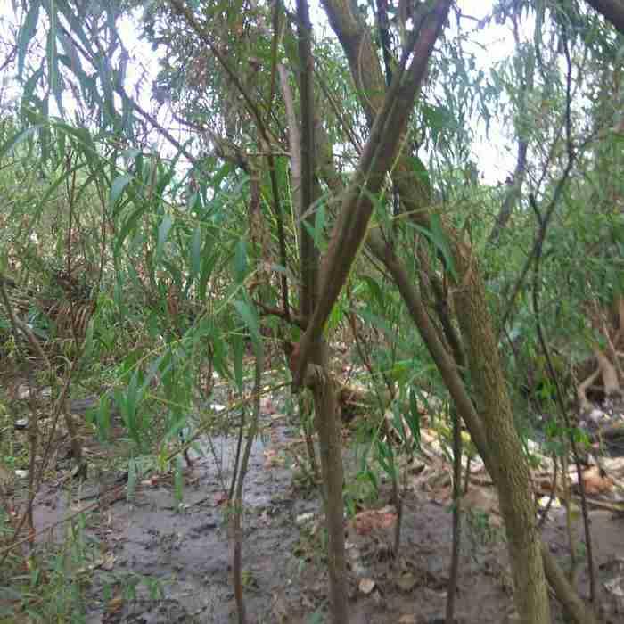Jual pohon liang liu 082312784749