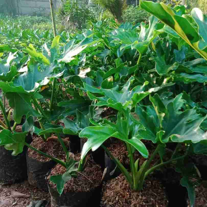 Jual philodendron 082312784749