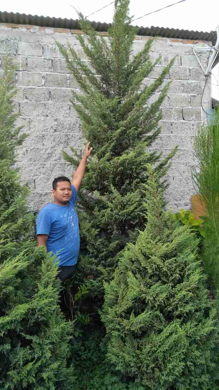 Jual pohon cemara afrika 082312784749