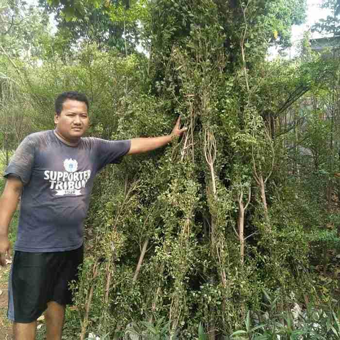 Jual pohon ketapang kencana 082312784749.087777643603