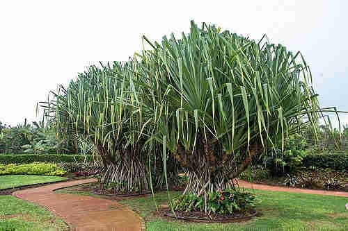 Jual pohon pandan spiral 081292127731