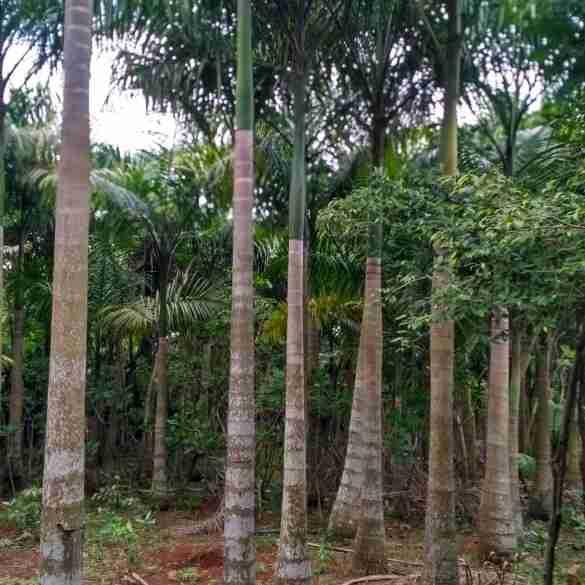 pohon palem raja 082312784749