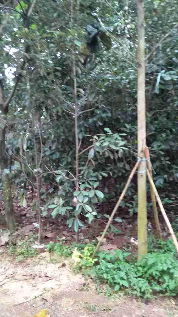 Jual pohon liang liu.082312784749