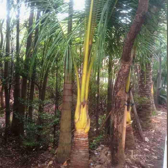 Jual pohon kelapa kuning 082312784749