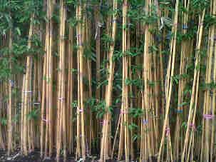 Jual pohon bambu cina 081292127731