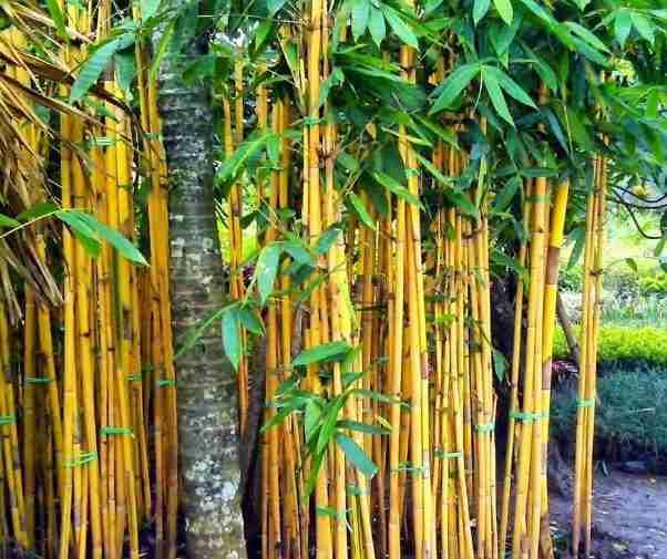 Jual pohon bambu kuning.082312784749