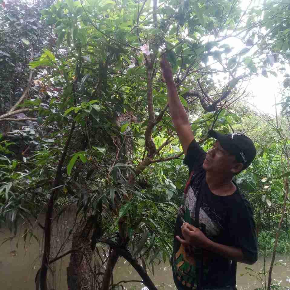 Jual pohon dadap merah 082312784749
