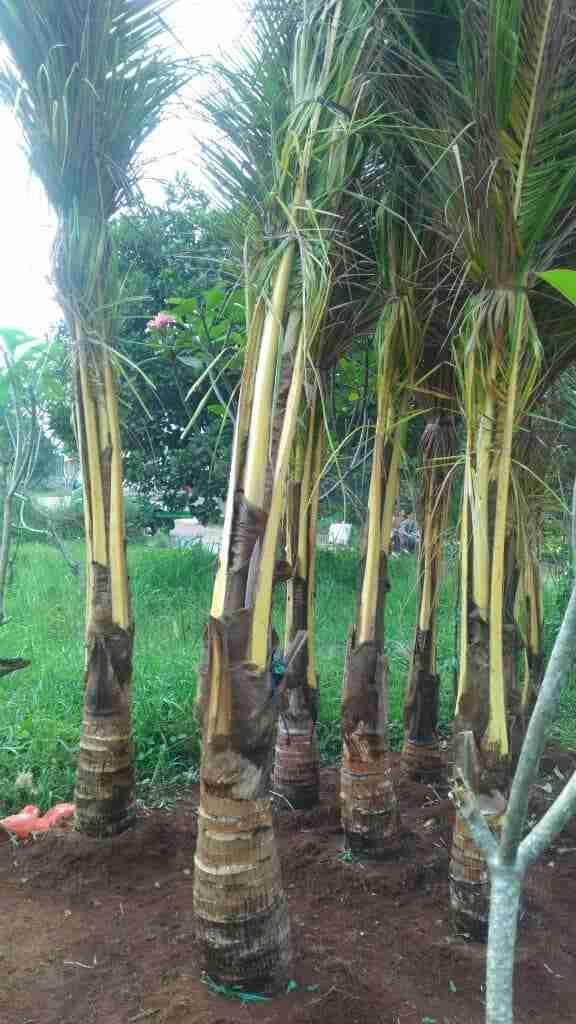 Jual pohon kelapa gading 081292127731
