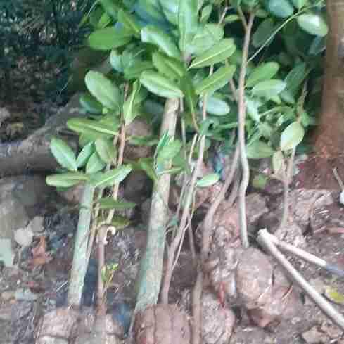 Jual pohon nyamplung 082312784749