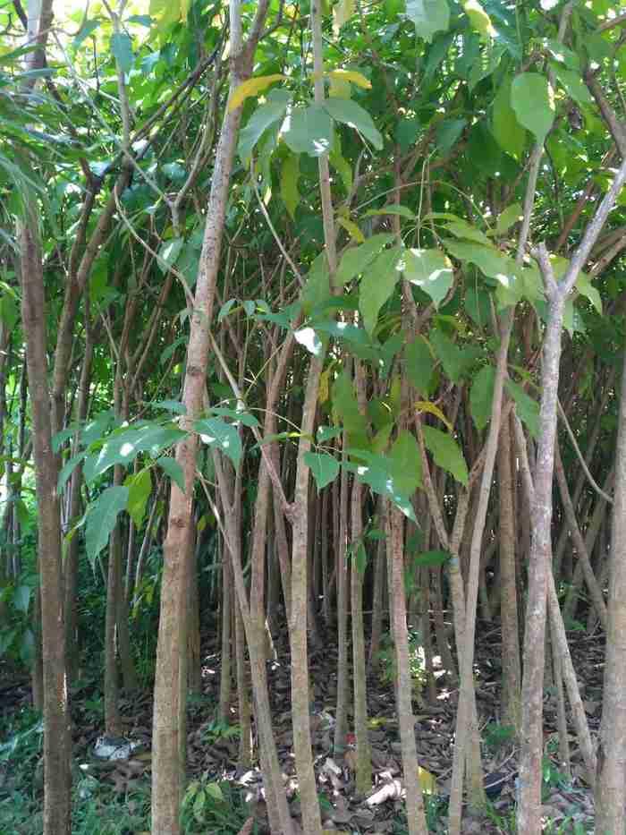 Jual pohon tabebuya rosea 082312784749
