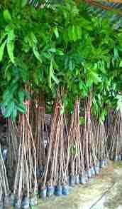 Jual pohon mahoni 081292127731