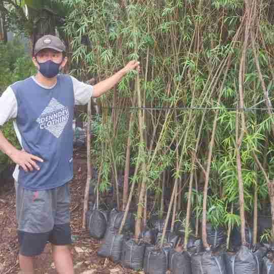 pohon liang liu janda merana 082312784749