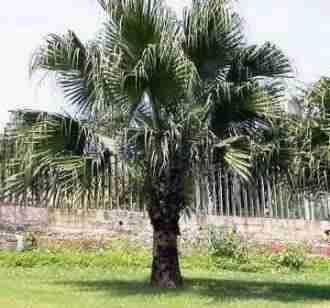 Jual pohon palem kuning 082312784749.087777643603