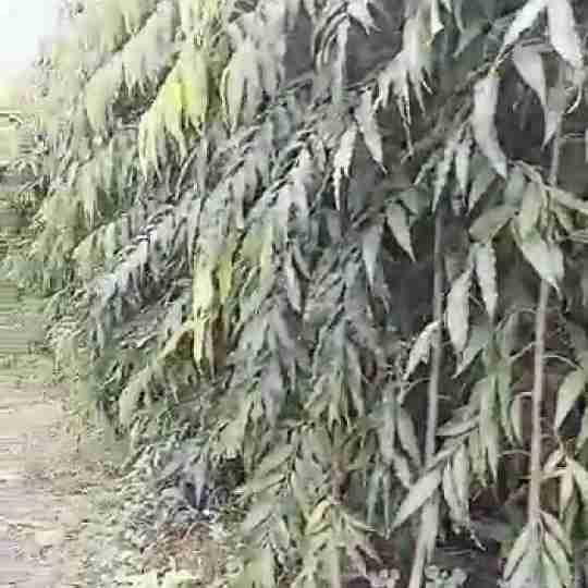 Jual pohon glodokan tiang 082312784749