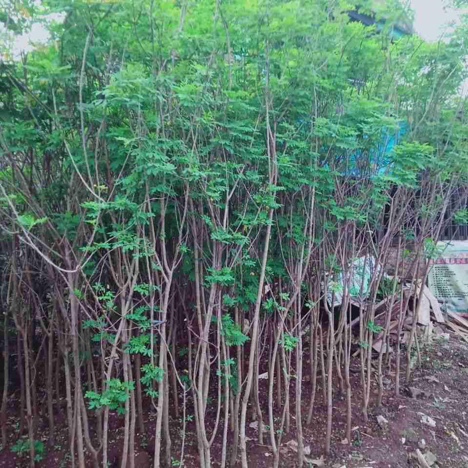 Jual pohon asrm keranji 082312784749