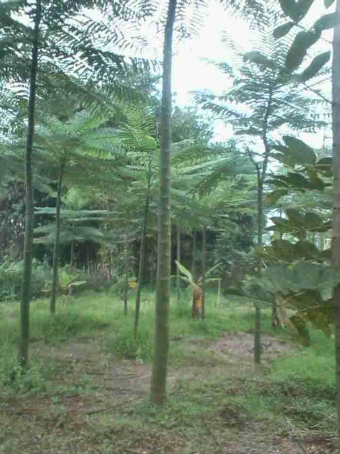 Jual pohon solobium.082312784749