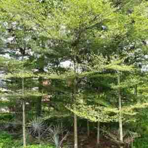 Jual pohon ketapang kencana 082312784749