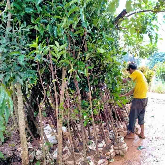 Jual pohon tanjung 082312784749