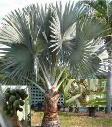 Jual pohon palem bismakia 082312784749
