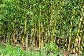 Jual pohon bambu cina bambu 081314817859