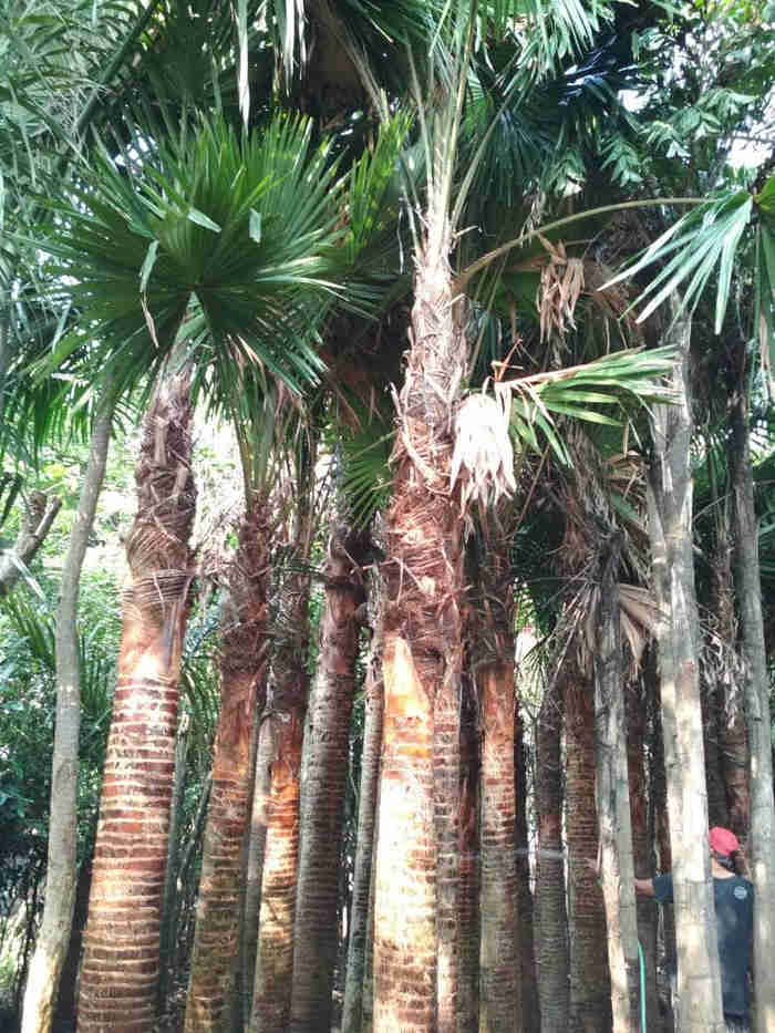 Jual pohon palem sadeng 082312784749.087777643603