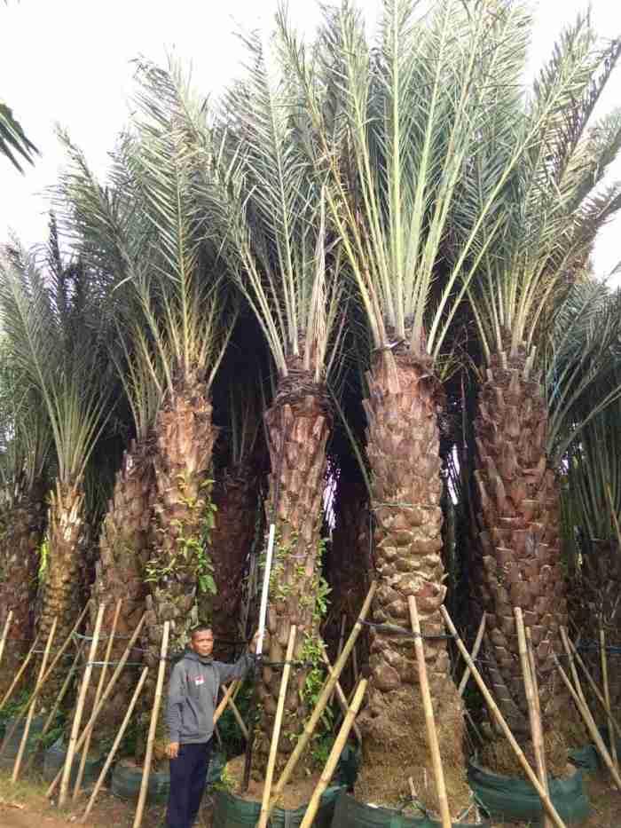 Jual pohon  kelapa kuning 081292127731