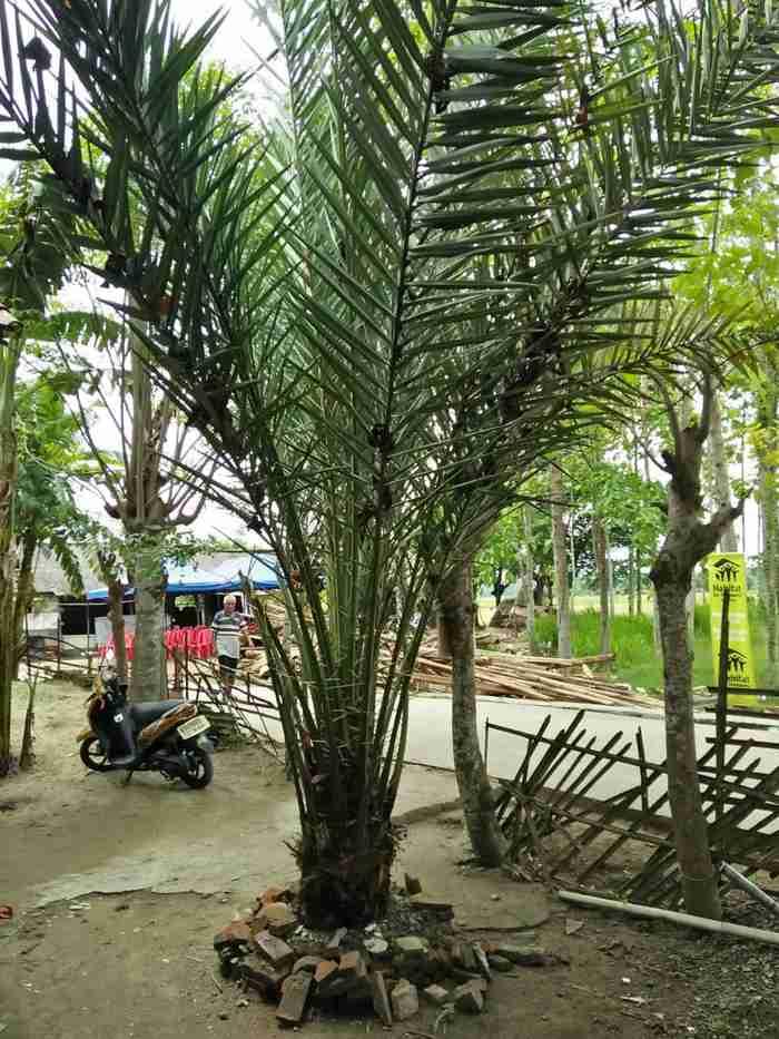 Jual pohon palem kurma 082312784749.087777643603
