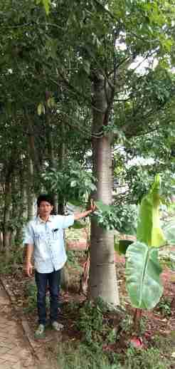 Jual pohon baobab 082312784749