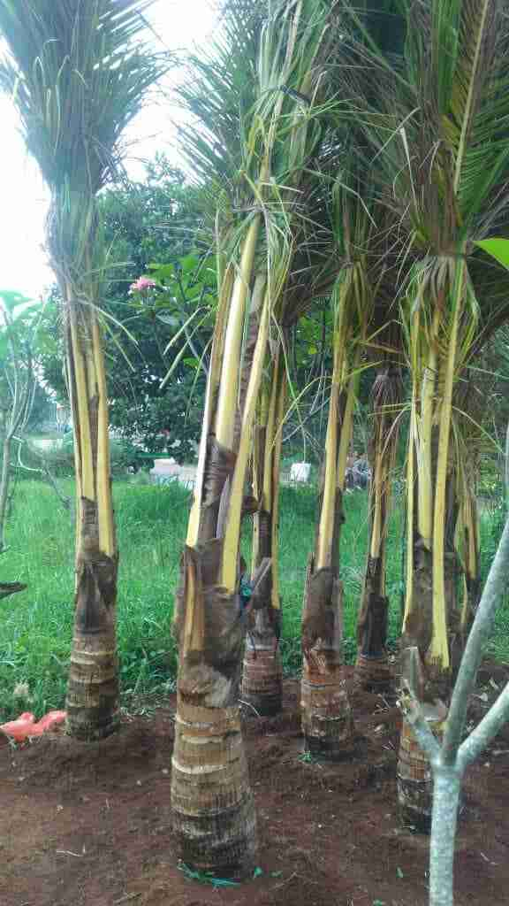 Jual pohon kelapa gading 082312784749.087777643603