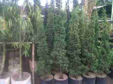 Jual pohon cemara tretes.cemara lilin 082312784749.087777643603